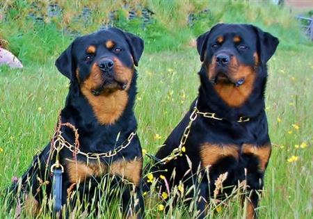 rottweilers called Megan & Lola