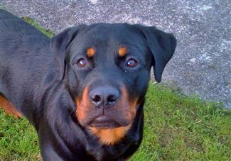 khan - the rottweiler