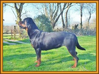 Rottweiler called Axel