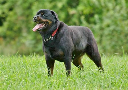rottweiler called Theo